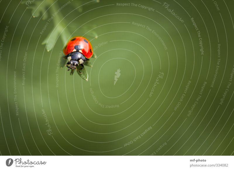 Sackgasse Glück Natur Pflanze Frühling Tier Käfer Marienkäfer fliegen grün rot Farbfoto Außenaufnahme Makroaufnahme