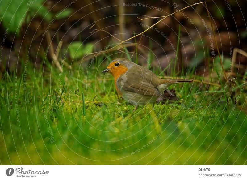 Rotkehlchen auf dem Rasen Natur Pflanze schön Tier Winter Umwelt Wiese Gras Deutschland Garten Vogel Park frei Wildtier Sträucher niedlich