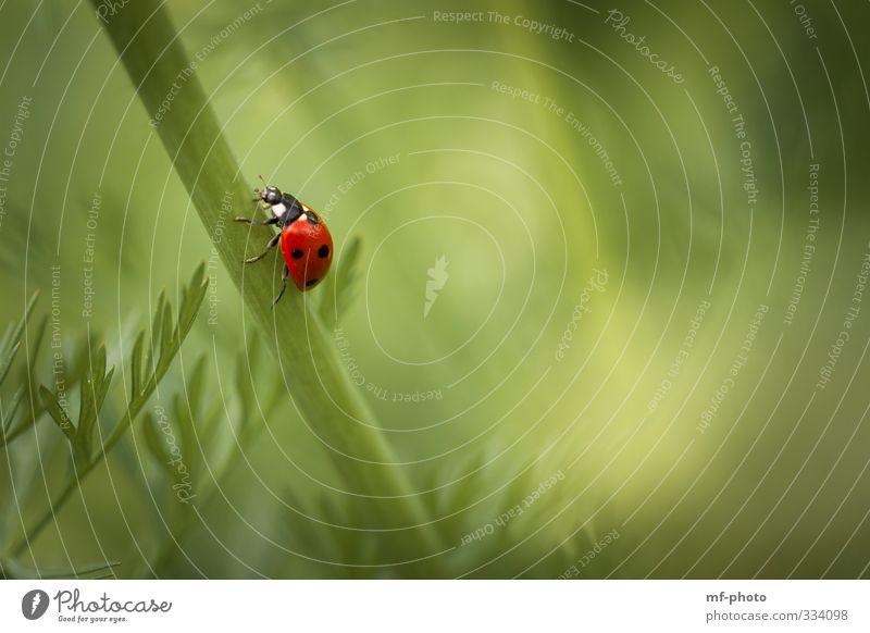 Bergauf Natur Pflanze Frühling Tier Marienkäfer 1 krabbeln laufen grün rot Glück Farbfoto Außenaufnahme Makroaufnahme Menschenleer Tag