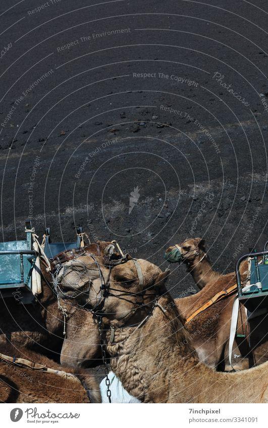 Kamele Tiere Tourismus Timanfaja Natur Außenaufnahme Säugetier Menschenleer Fauna Wildtier Transport mehrfarbig Tierwelt Farbfoto Braun Schwarz