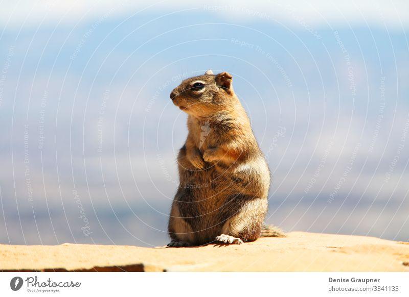 Squirrel in Bryce Canyon USA Ferien & Urlaub & Reisen Sommer Umwelt Natur Landschaft Pflanze Tier Klima Klimawandel Wetter Schönes Wetter Park Schlucht 1