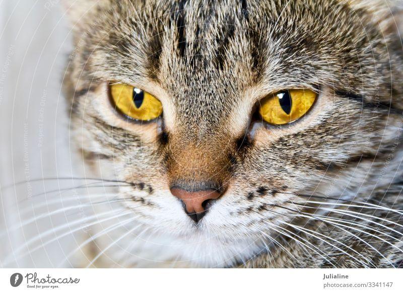 Katzenportrait mit gelben Augen Tier Oberlippenbart Haustier Streifen grau Säugetier Backenbart Koteletten Farbfoto mehrfarbig
