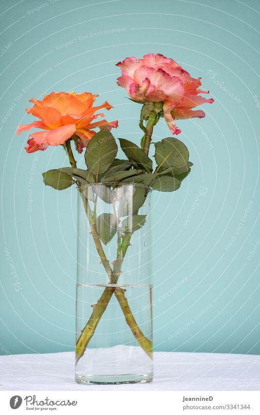 zwei Rosen Valentinstag Muttertag Pflanze Blühend Dekoration & Verzierung Kitsch Krimskrams orange türkis Glück Freundschaft Liebe Verliebtheit Treue Gefühle