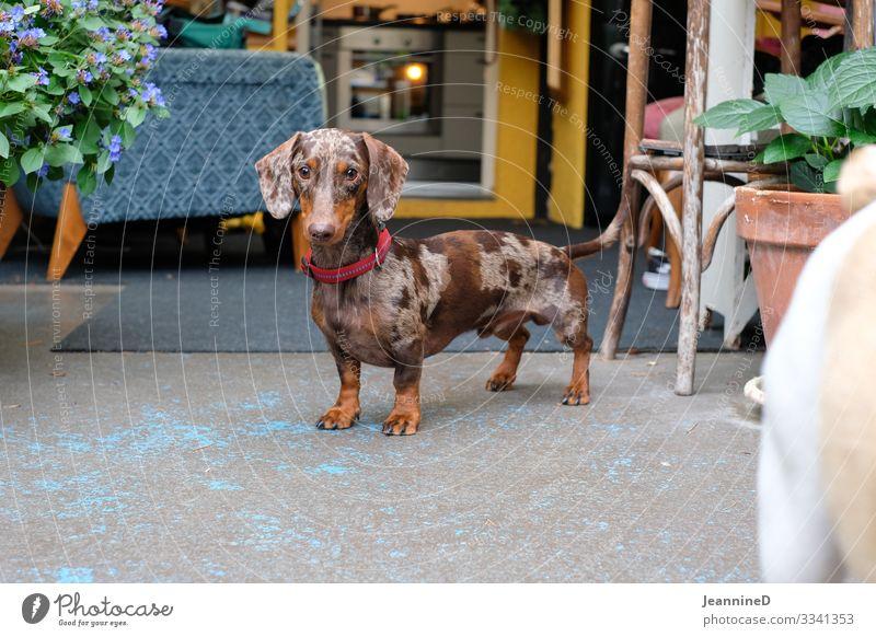 Hallo, ich bin ein Dackel! Freizeit & Hobby Veterinär Ruhestand Feierabend Tier Haustier Hund 1 Blick stehen natürlich braun Freude Kraft Leidenschaft Fürsorge
