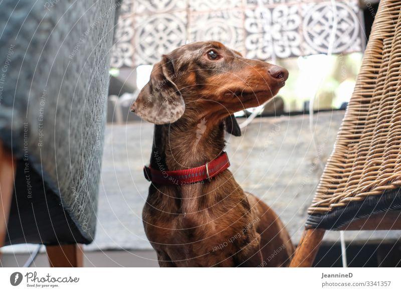 Hallo, ich bin ein Dackel! Freizeit & Hobby Veterinär Feierabend Haustier Hund 1 Tier frech lustig braun Tierliebe Leben Hundeblick Hundesalon Tierporträt
