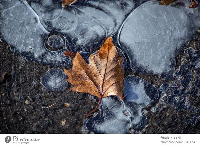 erster Frost mit Herbstblatt Eis Ahorn Blatt Straße gefrieren Wasser kalt Winter Außenaufnahme Natur Farbfoto Menschenleer Pflanze Tag Umwelt natürlich weiß