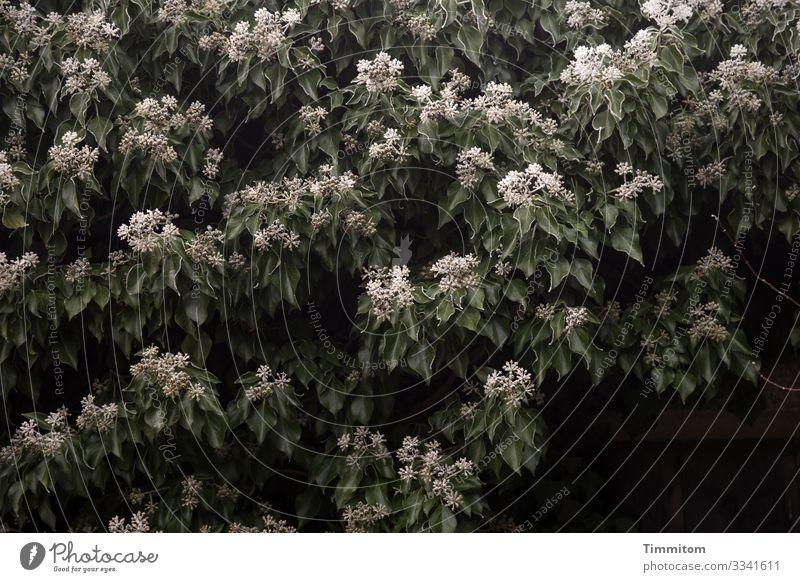 Eiszeit   Efeu Umwelt Natur Pflanze Winter Frost Garten Franken dunkel kalt grün schwarz weiß Gefühle gefroren Blatt Efeublüten Farbfoto Außenaufnahme