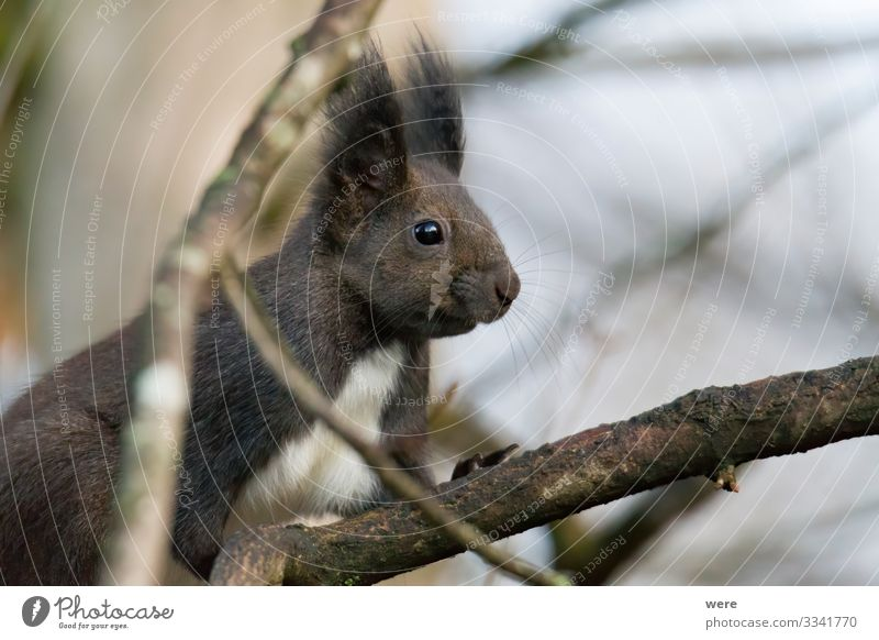 European brown squirrel in winter coat on a branch in the forest Natur Tier Wildtier Eichhörnchen 1 Ferne Neugier niedlich weich animal branches copy space