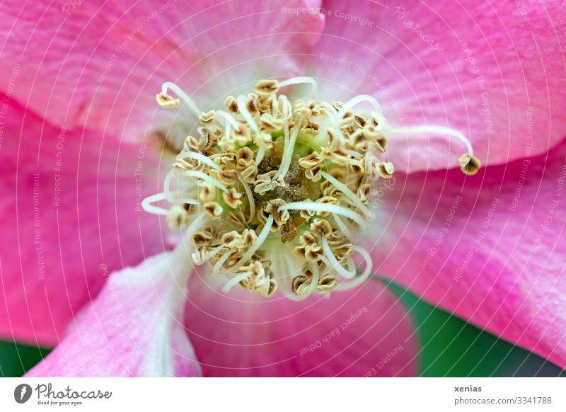 Makroaufnahme einer rosa ungefüllten Rose mit grünem Hintergrund Blüte Garten Blume Duft schön gelb Staubfäden xenias Hundsrose Textfreiraum links