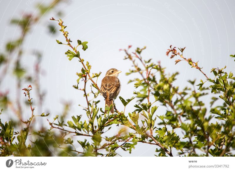 Young shrike sitting on a branch Natur Tier Wildtier Vogel 1 beobachten elegant klein Lanius excubitor animal bird copy space fly hunter nobody raptor songbird