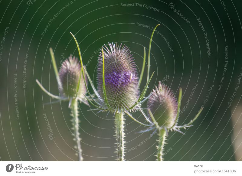 Inflorescence of a wild cardiac thistle Natur Pflanze Blüte exotisch Spitze violett Blossoms Dipsacus sativus herb blooming copy space flowers inflorescence