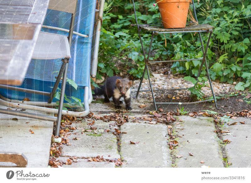 joung Stone marten peeks out of Garden Chairs Natur Tier Wildtier Marder 1 beobachten Fressen Jagd Aggression ästhetisch niedlich Martes foina animal bite