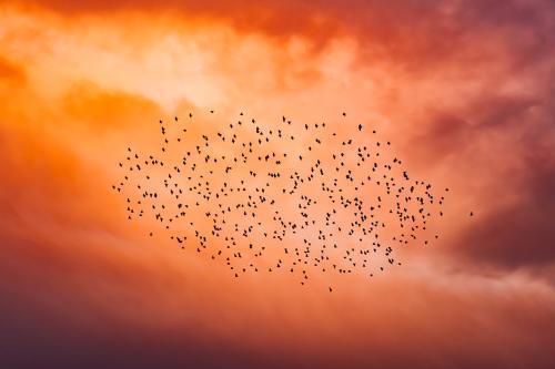 Vogelschwarm am roten Abendhimmel Abendsonne Dämmerung Tiere Vögel fliegen viele Menge Großveranstaltung Massenpanik Gruppe Versammlung abends Sonnenuntergang