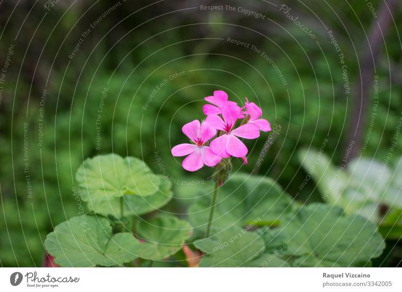 Rosa Blume im Frühling Sommer Garten Natur Pflanze Blatt Blüte Wald natürlich wild grün rosa purpur violett Roséwein geblümt Storchschnabel blosson lassen