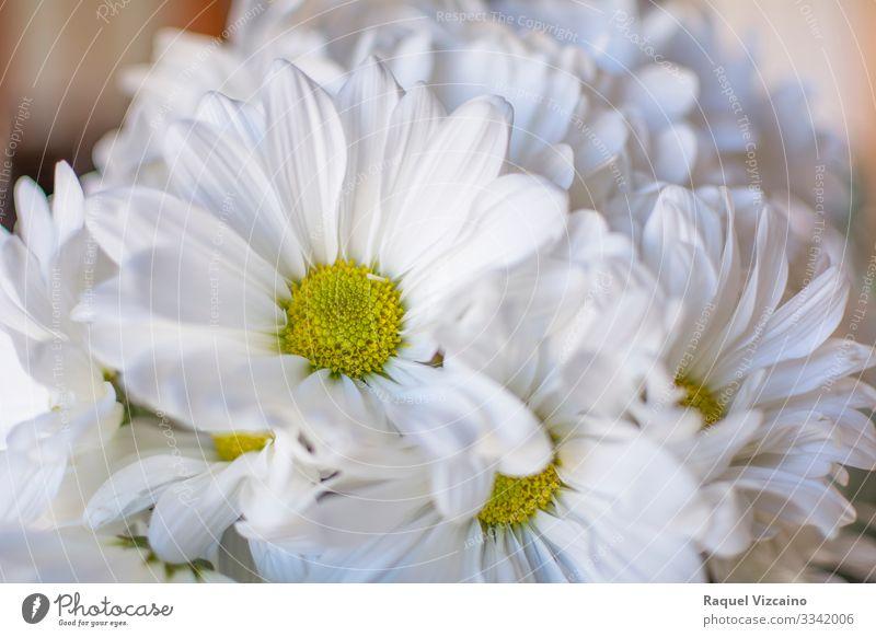Gänseblümchen schön Sommer Garten Natur Pflanze Blume Blüte Blumenstrauß gelb weiß Chrysantheme geblümt Frühling Echte Kamille Beautyfotografie Margeriten