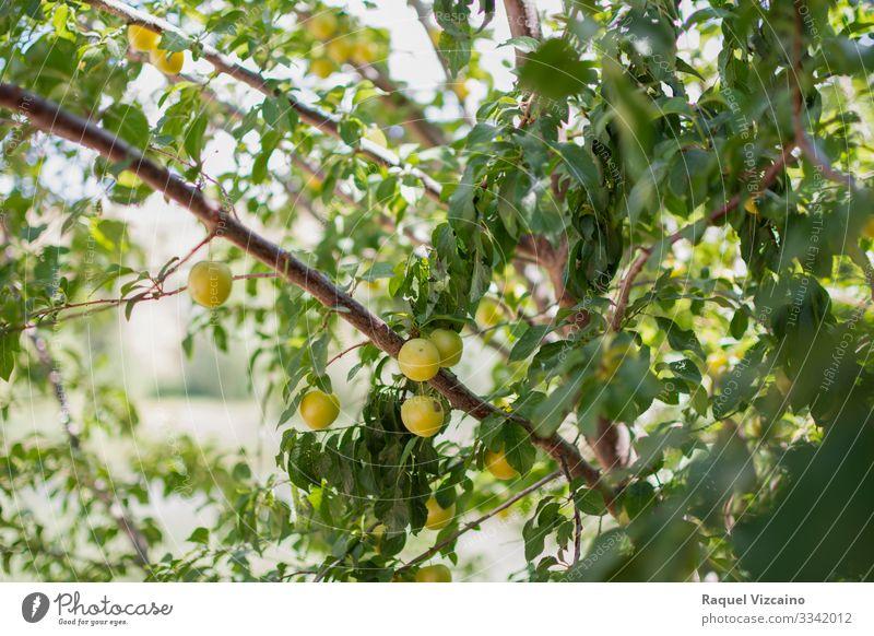 Reife gelbe Pflaumen, die vom Baum hängen. Frucht Apfel Sommer Garten Natur Pflanze Frühling Blatt frisch natürlich grün Ast Lebensmittel reif Ackerbau