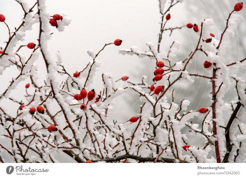 schneebedeckte Hagebutten bei eisigen Temperaturen Frucht Marmelade Tee Winter Schnee Winterurlaub Berge u. Gebirge wandern Umwelt Natur Landschaft Pflanze