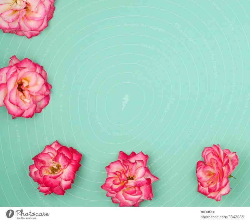 blühende Knospen von rosa Rosen Design Glück schön Sommer Dekoration & Verzierung Feste & Feiern Hochzeit Geburtstag Natur Pflanze Blume Blüte Liebe frisch