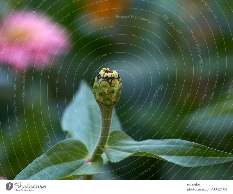 Zinnie-Blütenstiel mit grünen Blättern schön Garten Natur Pflanze Blume Blatt Blumenstrauß Wachstum frisch hell natürlich Farbe Ast Hintergrund Beautyfotografie