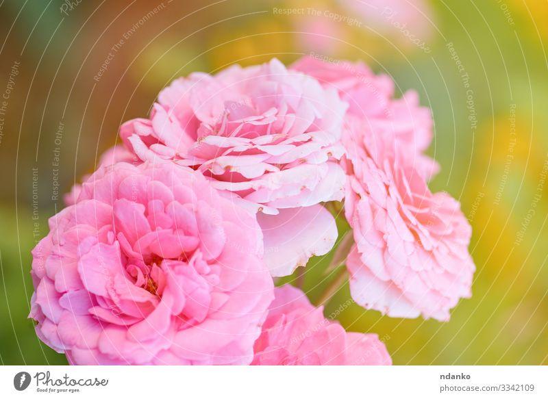 Knospen von rosa blühenden Rosen schön Sommer Sonne Garten Gartenarbeit Natur Pflanze Blume Blatt Blüte Blumenstrauß frisch natürlich gelb grün rot Romantik