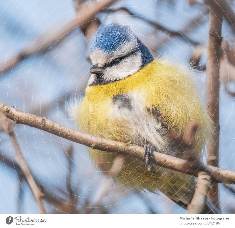 Aufgeplusterte Blaumeise im Baum Natur Tier Himmel Sonnenlicht Schönes Wetter Zweige u. Äste Wildtier Vogel Tiergesicht Flügel Krallen Meisen Kopf Schnabel Auge