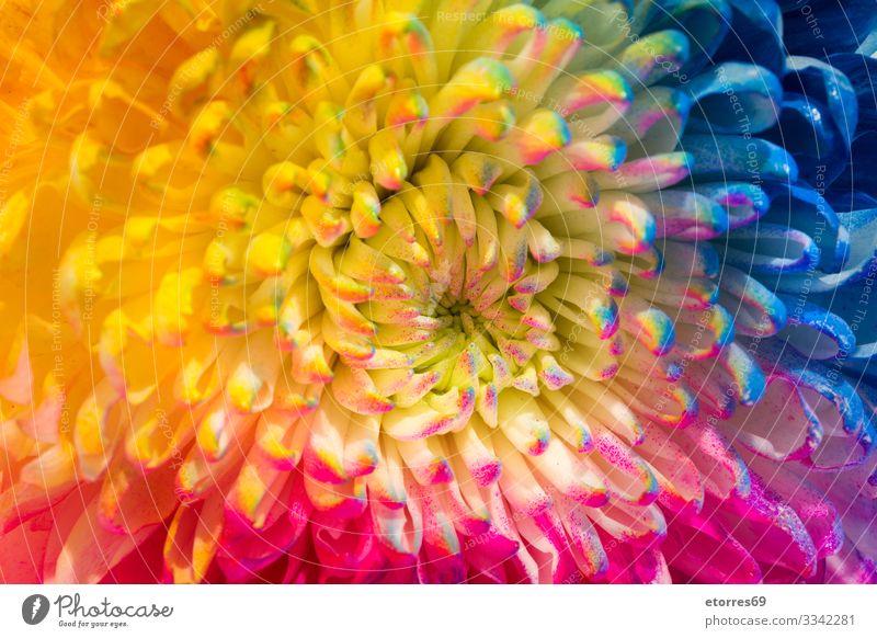 Mehrfarbige Blume isoliert aromatisch Hintergrund neutral Hintergrundbild schön blau Chrysantheme Farbe mehrfarbig Textfreiraum Gänseblümchen