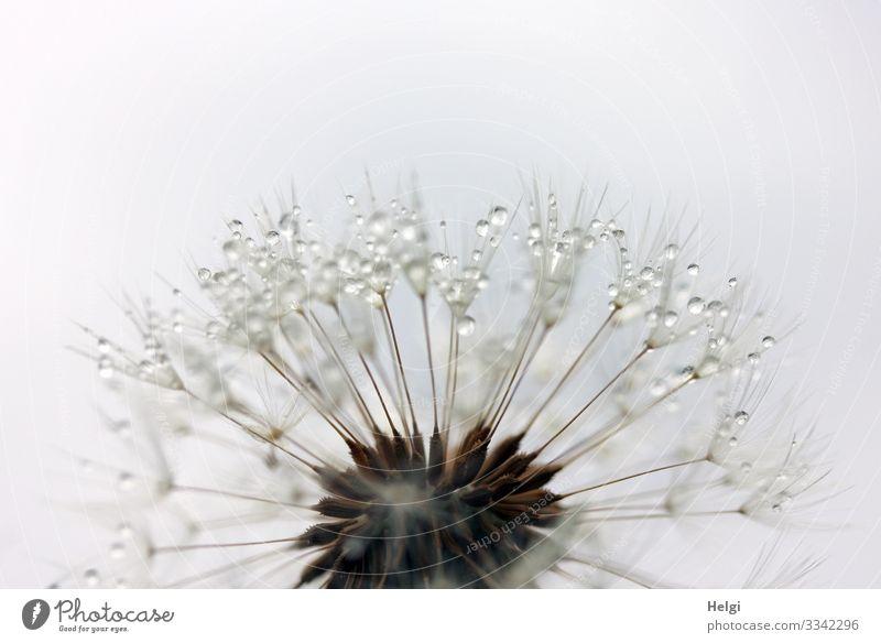 Nahaufnahme einer filigranen Pusteblume mit Tropfen Umwelt Natur Pflanze Wassertropfen Frühling Blume Wildpflanze Löwenzahn Samen Wiese festhalten stehen