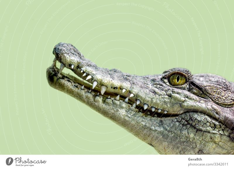 Krokodilkopf isoliert in Nahaufnahme auf grünem Hintergrund exotisch Haut Mund Zähne Natur Tier Leder wild gelb gefährlich Farbe Alligator groß fleischfressend
