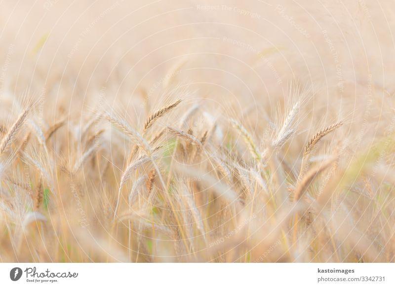 Weizenfeld. Brot schön Sommer Sonne Umwelt Natur Landschaft Pflanze Wachstum natürlich reich gelb gold Farbe Großgrundbesitz Feld Müsli Ackerbau Kulturfeld