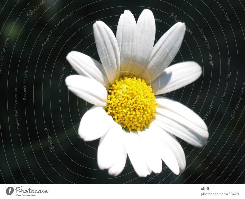 Margerite weiß Blume Pflanze Ernährung gelb