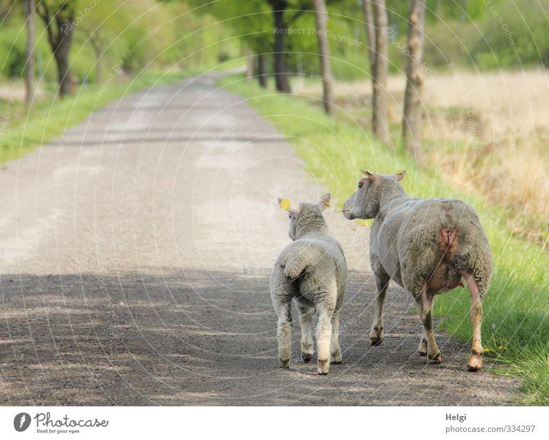 Helgiland | Rosalinde und Annabel... Umwelt Natur Landschaft Frühling Schönes Wetter Baum Moor Sumpf Straße Tier Nutztier Schaf 2 Tierjunges Bewegung gehen