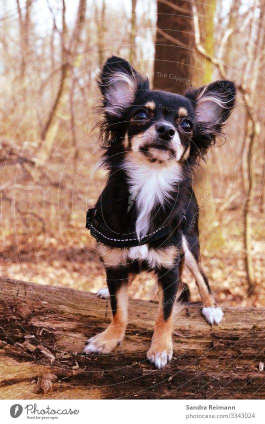 die Lotta Herbst Baum Wald Haustier Hund 1 Tier bedrohlich schön kuschlig klein Neugier niedlich klug braun schwarz weiß Zufriedenheit selbstbewußt Coolness