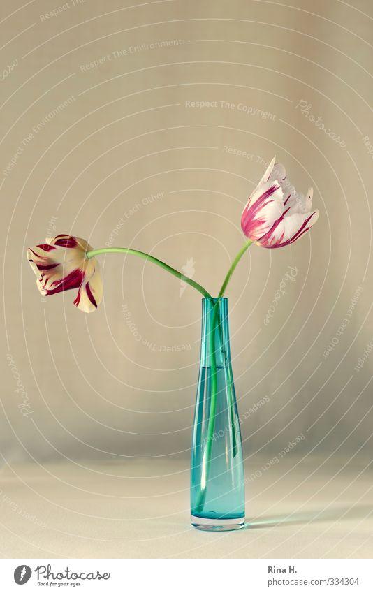 Zwei Blume Tulpe Vase Blühend ästhetisch hell blau gelb rot Blumenstrauß Stillleben Farbfoto Innenaufnahme Menschenleer Textfreiraum oben Textfreiraum Mitte