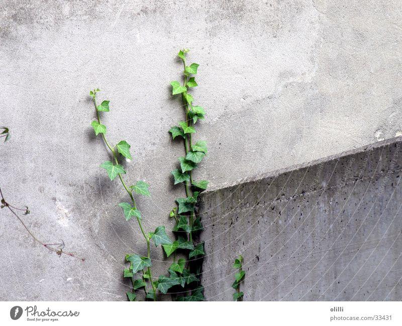 Mauerblümchen grün Pflanze grau Mauer Hoffnung Efeu zäh