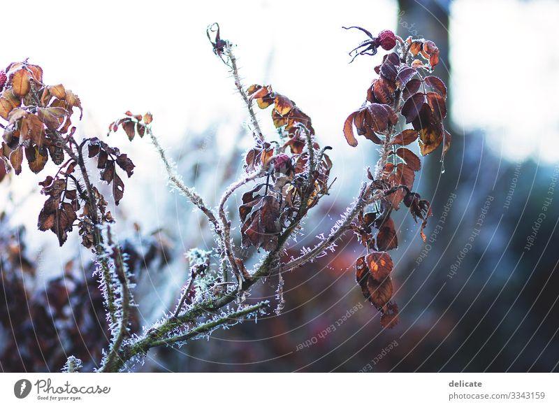 Winter Winterstimmung Wintertag Zweige u. Äste Ast winterlich Winterlicht Frost frostig Schnee Eis Hagebutten strauch Hecke Bokeh freigestellt Blätter gefroren