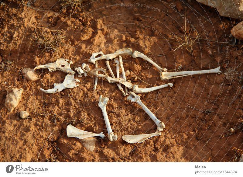 Das Skelett eines kleinen Säugetiers Tier Knochen Bodenbelag Schädel Tierschädel Wirbelsäule Rippen Rest Zähne Gebiss Beine Schwanz