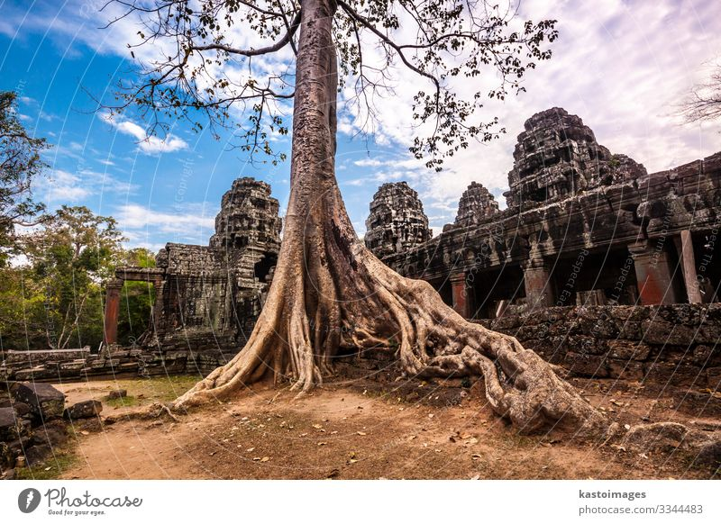 Baum in Ta Phrom, Angkor Wat, Kambodscha. Ferien & Urlaub & Reisen Tourismus Natur Landschaft Erde Wolken Felsen Palast Ruine Gebäude Architektur Wahrzeichen