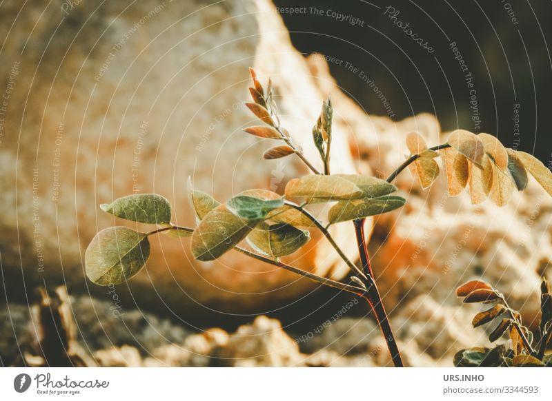 im Wachstum   kleine junge Pflanze vor einem Stein Natur Erde Sand Frühling Sommer Grünpflanze gelb grün orange achtsam Einsamkeit Trieb Jungpflanze