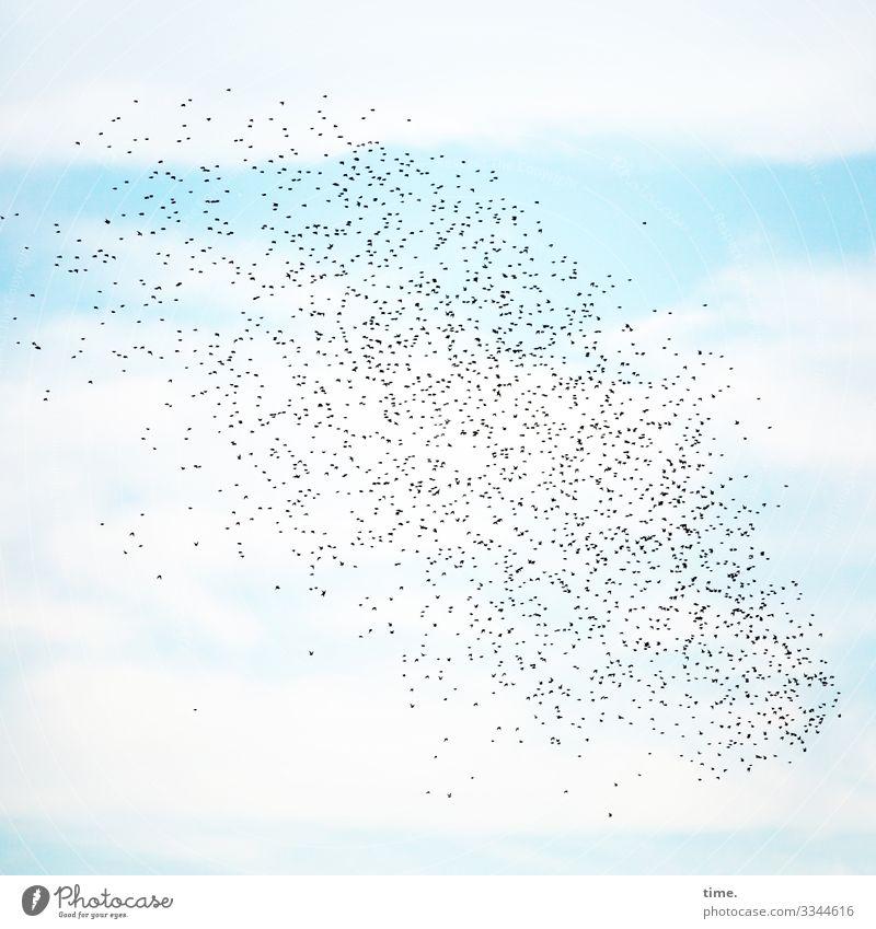 6.500 Flugstunden himmel reisen blau hellblau himmelblau sommer vögel star vogelschwarm wolken fliegen entdeckung kunstflug zusammen gemeinsam orientierung