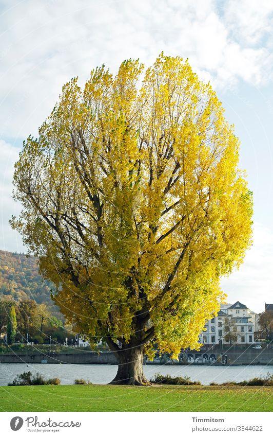 Baum. mächtig Pflanze Himmel Wolken Herbst Schönes Wetter Pappeln Park Flussufer Neckar Heidelberg Stadt groß natürlich blau braun gelb grün weiß Herbstlaub