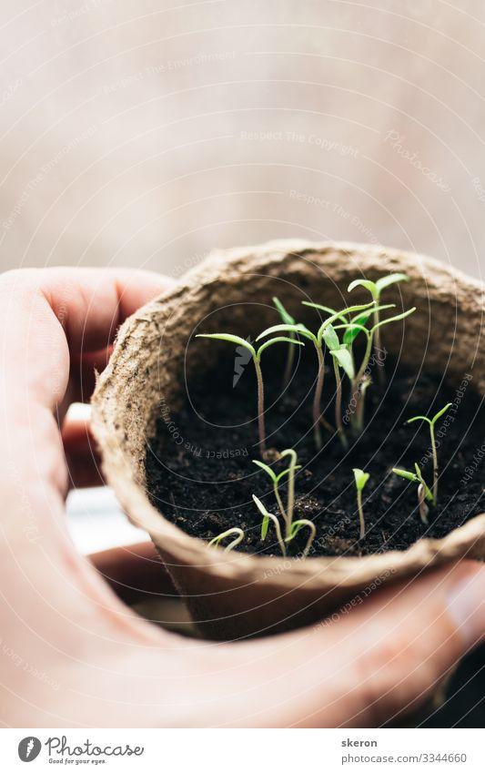 Frühlingstomaten-Setzlinge in einem Torf-Topf Lifestyle kaufen Handarbeit lernen Student Hochschullehrer Arbeit & Erwerbstätigkeit Gartenarbeit Business