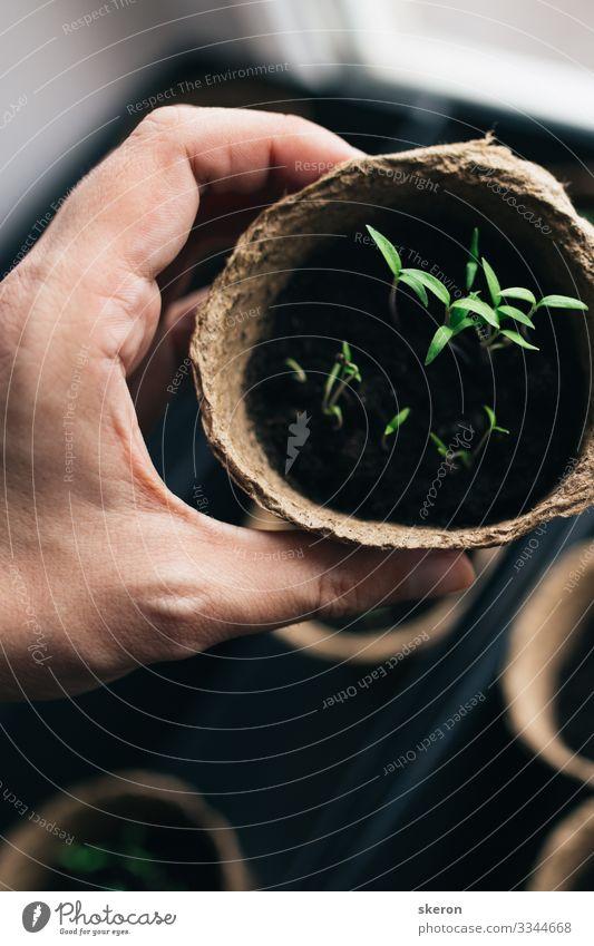 Frühlingstomaten-Setzlinge in einem Torf-Topf Lifestyle kaufen Freizeit & Hobby Arbeit & Erwerbstätigkeit Beruf Gartenarbeit Wirtschaft Landwirtschaft