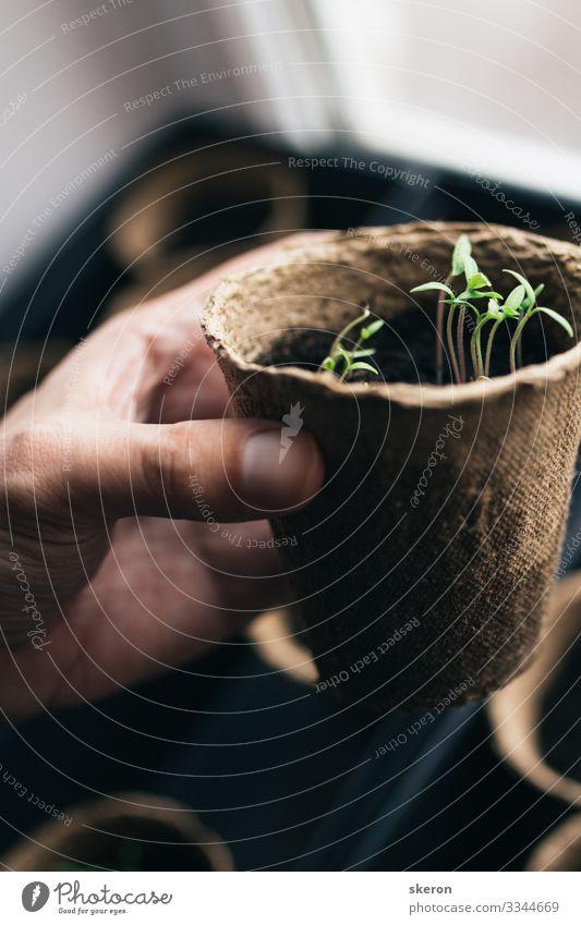Frühlingstomaten-Setzlinge in einem Torf-Topf Lifestyle Freizeit & Hobby Basteln heimwerken Arbeit & Erwerbstätigkeit Beruf Gartenarbeit Arbeitslosigkeit fangen