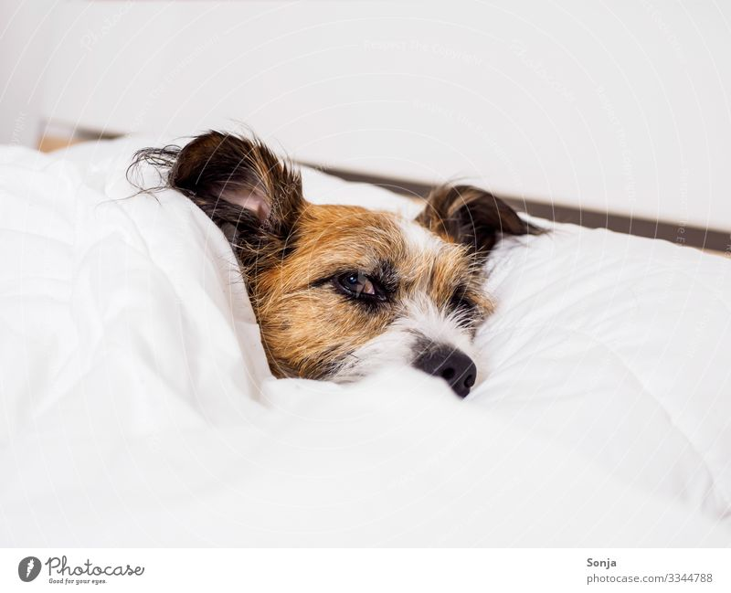 Kleiner müder Hund unter einer weißen Bettdecke harmonisch Wohlgefühl Zufriedenheit Erholung ruhig Tier Haustier Tiergesicht Fell 1 liegen Blick Glück schön