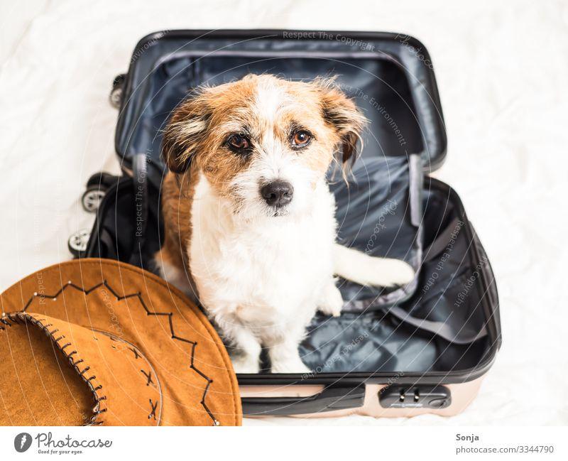 Kleiner Mischlingshund sitzt in einem Reisekoffer Lifestyle Ferien & Urlaub & Reisen Abenteuer Ferne Sommerurlaub Bett Tier Haustier Hund Tiergesicht Fell 1