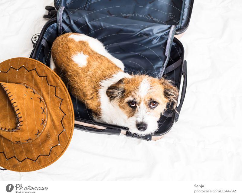 Kleiner Terrier Hund liegt in einem Koffer Tier Haustier Tiergesicht 1 Sonnenhut Bett Erholung liegen Blick Armut trendy schön klein lustig maritim rebellisch