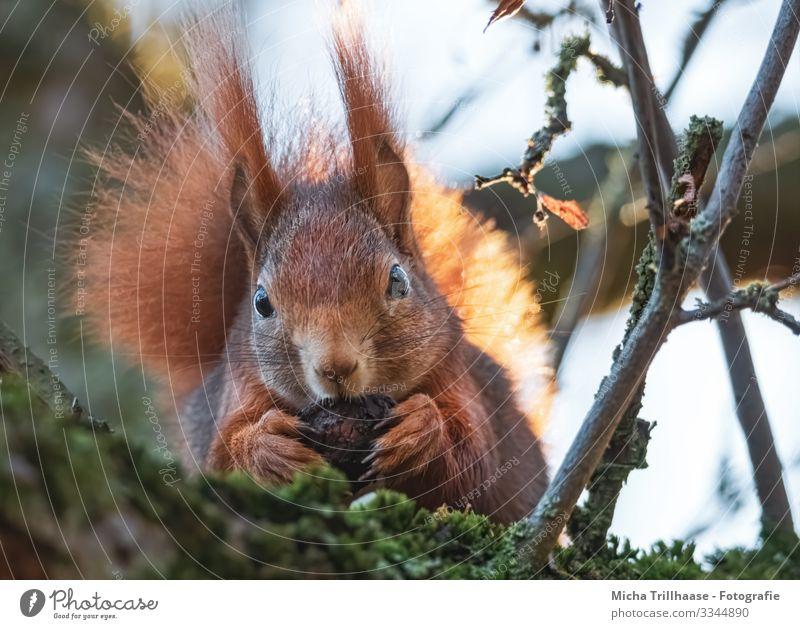 Eichhörnchen mit Walnuss Natur Tier Himmel Sonne Sonnenlicht Schönes Wetter Baum Zweige u. Äste Wildtier Tiergesicht Fell Krallen Pfote Kopf Auge Ohr Schwanz 1