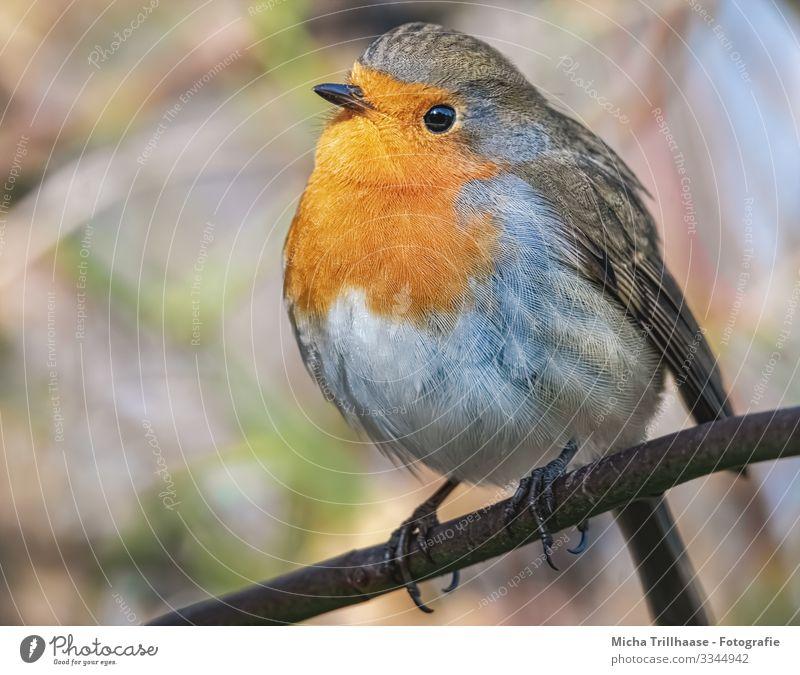 Rotkehlchen Portrait Natur Tier Sonne Sonnenlicht Schönes Wetter Baum Zweige u. Äste Wildtier Vogel Tiergesicht Flügel Krallen Kopf Schnabel Auge Feder
