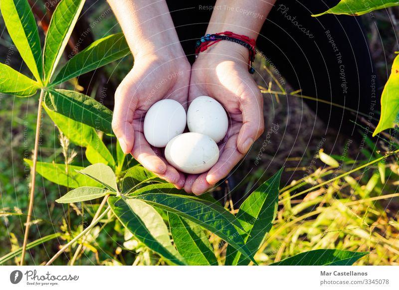 Frauenhände halten drei weiße Eier. Lebensmittel Ernährung Lifestyle Gesunde Ernährung Wellness Erwachsene Hand Finger 1 Mensch Natur Frühling Feld Nutztier