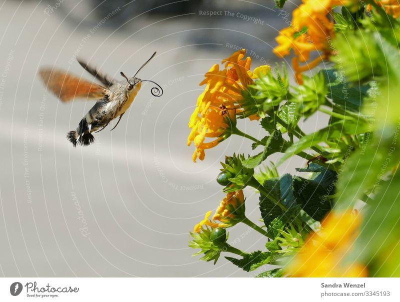 Taubenschwänzchen Umwelt Natur Landschaft Pflanze Tier Blüte Schmetterling Flügel Tagfalter Kolibris Kolibrifalter 1 fliegen Rüssel trinken Nektar Nektarpflanze